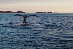 潜水鲸鱼尾巴  免版税库存照片