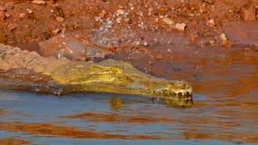潜水鳄鱼 免版税库存照片