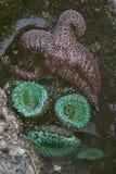 潮汐水池海星和海顽童 库存图片