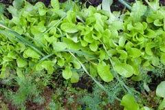 潮湿蔬菜沙拉、大蒜和莳萝的叶子 免版税库存照片