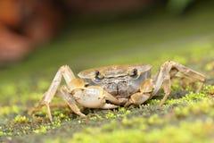 潮间带逗人喜爱的招潮蟹的海洋 免版税库存照片
