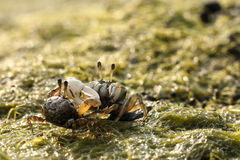 潮间带逗人喜爱的招潮蟹的海洋 库存图片