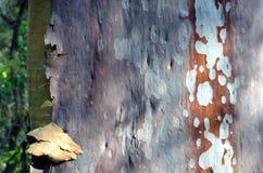 从澳大利亚产树胶之树的五颜六色的被察觉的吠声 免版税图库摄影