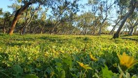 澳大利亚产树胶之树 免版税库存照片
