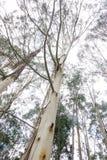 澳大利亚产树胶之树 免版税库存图片