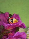 澳大利亚人共同的北耶洗别蝴蝶 免版税图库摄影