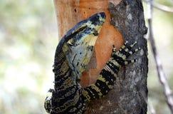 澳大利亚人爬树的Goanna (鞋带显示器) 库存图片