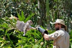 澳大利亚人被掩没的猫头鹰 图库摄影
