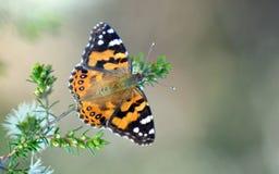 澳大利亚人被绘的夫人Butterfly, Vanessa kershawi 库存图片