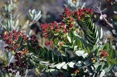澳大利亚人Angophora树装载与花蕾 图库摄影
