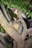 澳大利亚人Brushtail负鼠 图库摄影