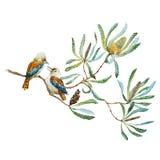 澳大利亚人Kookaburra鸟 库存图片