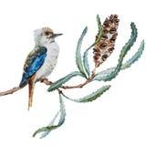 澳大利亚人Kookaburra鸟 免版税库存图片