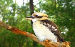 澳大利亚人Kookaburra 免版税库存图片