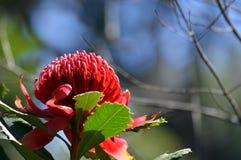 澳大利亚人Waratah在蓝天下 免版税库存图片