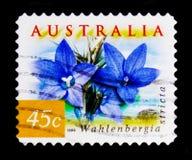 澳大利亚会开蓝色钟形花的草- Wahlenbergia stricta, serie,大约1999年 免版税库存图片