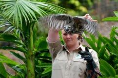 澳大利亚咆哮猫头鹰 免版税库存图片