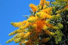 澳大利亚圣诞节floribunda nuytsia结构树 库存图片