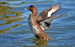 澳大利亚坚硬顶头鸭子 免版税图库摄影