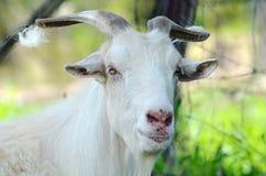 澳大利亚大纯净的白色男性公山羊画象 库存图片