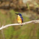 澳大利亚天蓝色的翠鸟 库存图片
