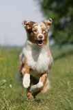 澳大利亚小狗运行中 免版税库存照片