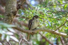 澳大利亚屠户鸟 免版税库存图片