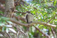 澳大利亚屠户鸟 库存照片