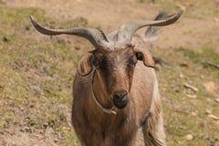 澳大利亚山羊 免版税库存图片