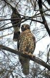 澳大利亚强有力的猫头鹰和Currawong 免版税库存图片