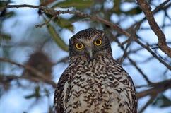澳大利亚强有力的猫头鹰 免版税库存照片