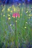 澳大利亚当地圣诞节铃声,Blandfordia nobilis 库存图片