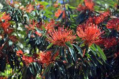 澳大利亚当地树Waratah花 免版税库存照片