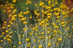 澳大利亚当地黄色比利按钮花 库存照片