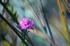澳大利亚当地Melaleuca squamea,沼泽蜂蜜默特尔 免版税库存照片