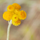 澳大利亚春天野花黄色比利按钮 免版税库存图片