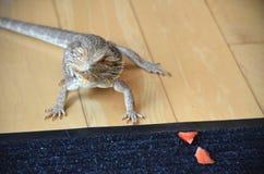澳大利亚有胡子的龙宠物蜥蜴 免版税库存图片