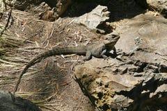 澳大利亚有胡子的龙蜥蜴 库存照片