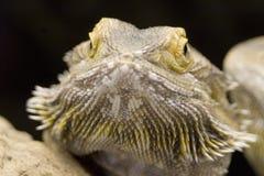 澳大利亚有胡子的龙pogona vitticeps 库存图片