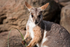 澳大利亚有脚的岩石鼠黄色 库存图片