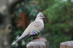 澳大利亚有顶饰鸽子Ocyphaps lophotes 图库摄影