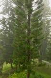 澳大利亚松树树(南洋杉heterophylla) 库存照片