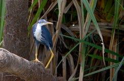 澳大利亚染色苍鹭 库存照片