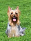澳大利亚柔滑的狗画象在绿草草坪的 免版税库存图片