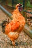 澳大利亚柔滑的鸡 库存图片