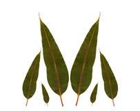 澳大利亚桉树胶离开本地植物 库存照片