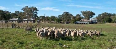 澳大利亚棚子羊毛 库存照片