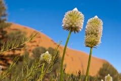 澳大利亚沙漠开花在内地 库存图片