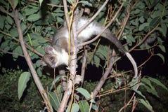 澳大利亚浣熊负鼠 免版税库存图片