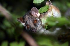 澳大利亚浣熊负鼠 免版税库存照片